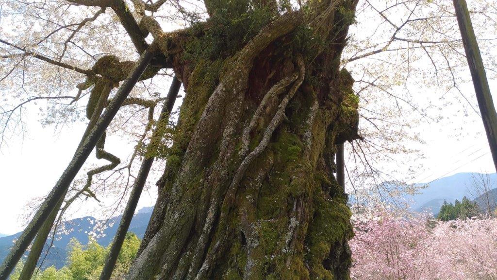 太い大樹が天然記念物の由縁