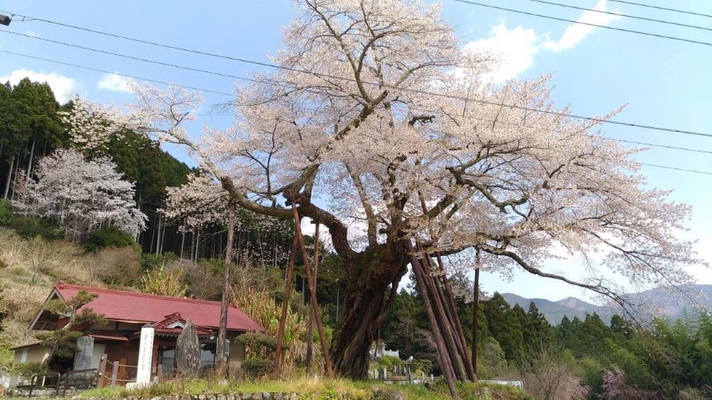 【左側】お寺と本郷の千年桜が一緒に見れる