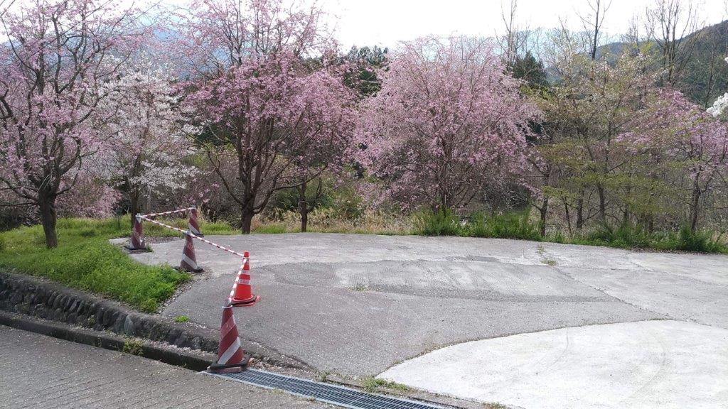 駐車場では他の桜や梅も見れる