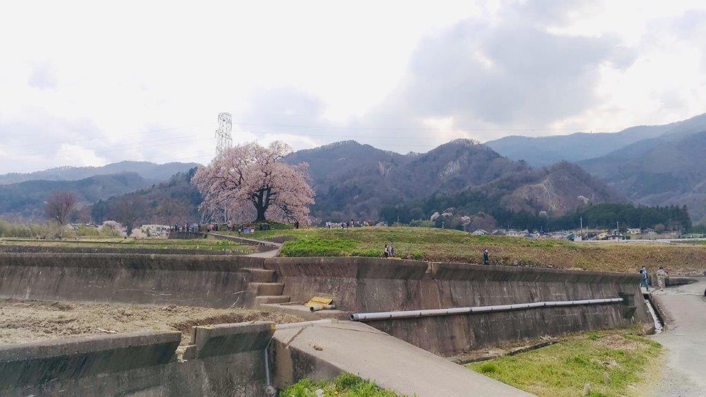 わに塚,桜