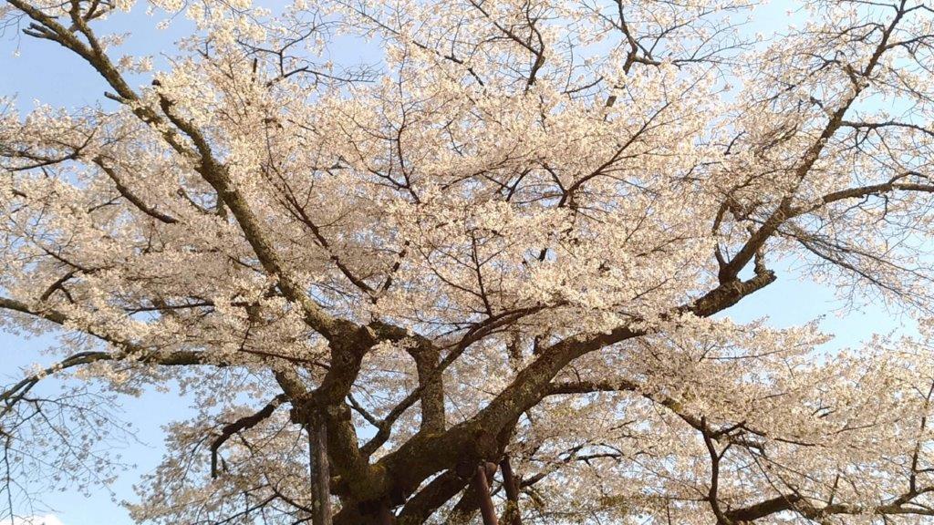 本郷 千年桜の特徴は白い桜