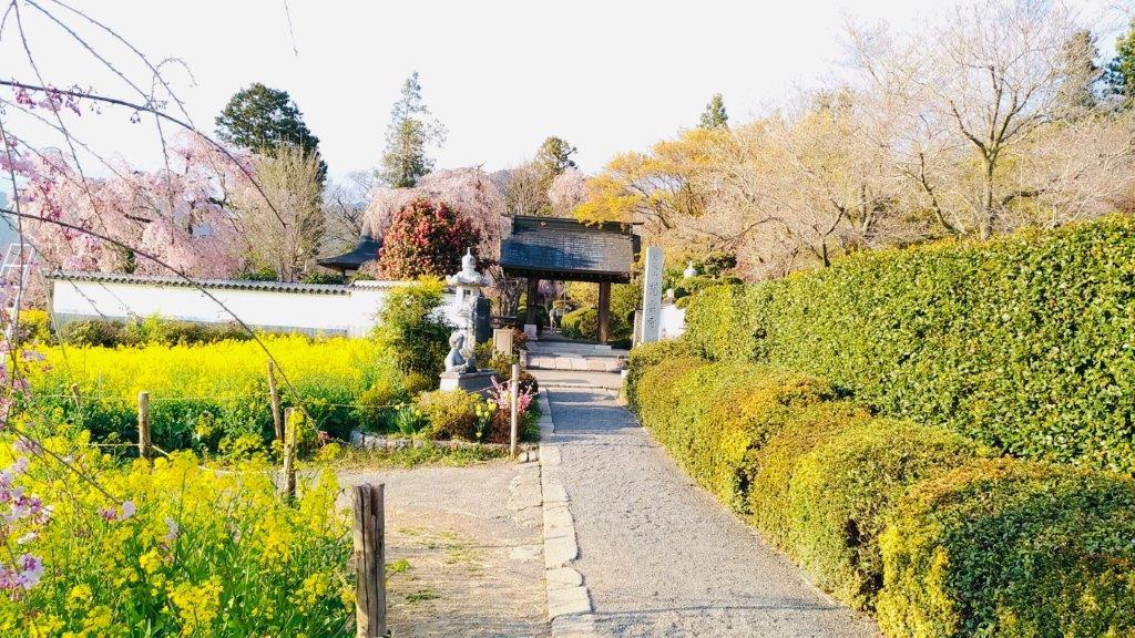 天龍山慈雲寺,桜