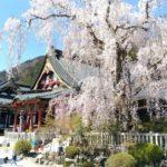身延山久遠寺,しだれ桜