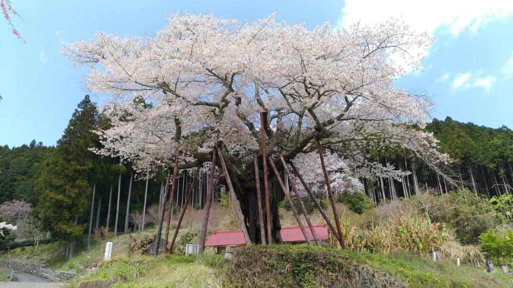 【正面】堂々とした本郷の千年桜が見れる