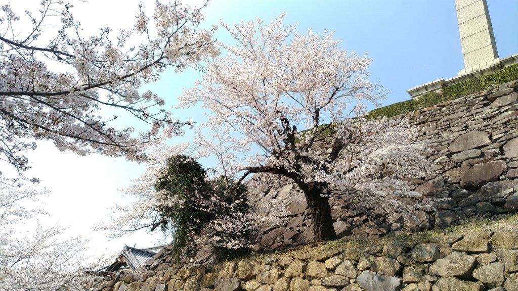 舞鶴城公園,桜