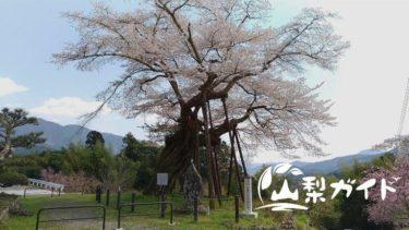【本郷の千年桜】山梨県指定の天然記念物を見てきた♪−南部町