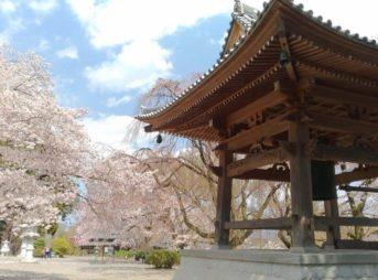 妙了寺,桜