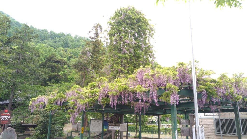 山梨岡神社のフジ